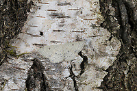 Birken-Gürtelpuppenspanner, Birkengürtelpuppenspanner, Birken-Gürtelpuppen-Spanner, Weißer Ringfleckspanner, Gürtelpuppenspanner, Gürtelpuppen-Spanner, Cyclophora albipunctata, Cosymbia coreana, birch mocha, Spanner, Geometridae, looper, loopers, geometer moths, geometer moth