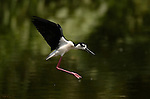Black-necked Stilt in Flight Himantopus mexicanus Los Angeles River Southern California