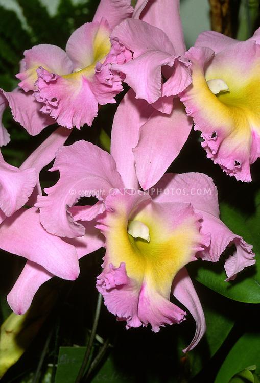 Rhyncholaeliocattleya aka Brassolaeliocattleya Nacouchee 'Del Mar', HCC/AOS (Headox x Cattleya Estelle)