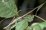Northern walking sticks breeding Orthoptera Diapheromera femorata insect<br />
