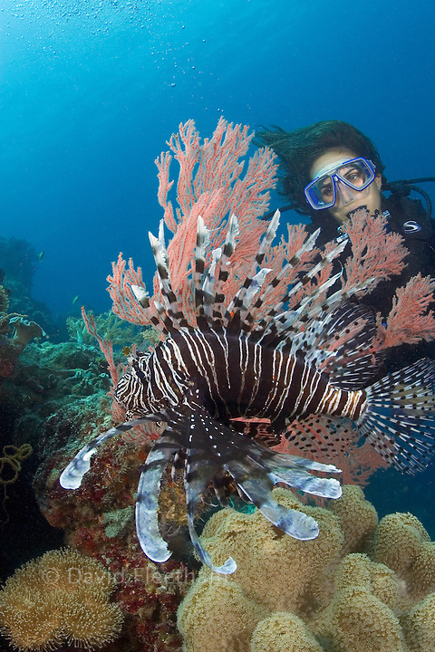 Lionfish, Pterois volitans, and a diver (MR). Indonesia.