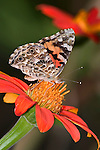 Butterfly On A Red Flower, American Painted Lady, Vanessa virginiensis
