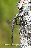 06340-002.05 Gray Petaltail (Tachopteryx thoreyi) perched on tree, Ripley Co.  MO