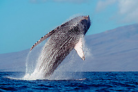 humpback whale breaching, Megaptera novaeangliae, Au Au Channel, Maui, Hawaii, Pacific Ocean