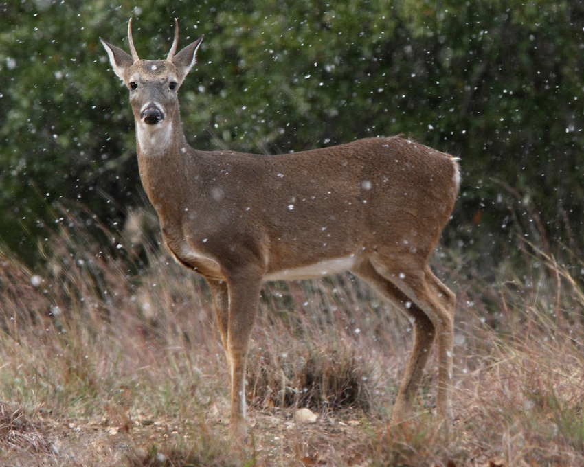 Young White-tailed Buck (Odocoileus virginianus)