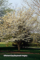 63808-02815 Flowering Dogwood (Cornus florida) in bloom, Marion Co.  IL
