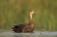 Mottled Duck, Anas fulvigula, male, Lake Corpus Christi, Texas, USA, April 2003