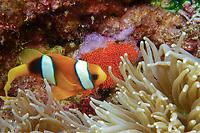 Clark's anemone fish guarding eggs attached to rock. Amphiprion clarkii. New Britain Island, Papua New Guinea. Solomon Sea.