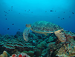Siaes Corner, Palau -- Sea turtle swimming over the reef.