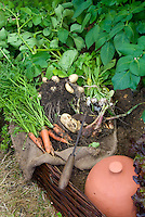 Pulling up potatoes, carrots, shallot onions, turnips in garden, shown growing and picked, variety of underground crops harvest, with garden tool, good garden soil earth dirt
