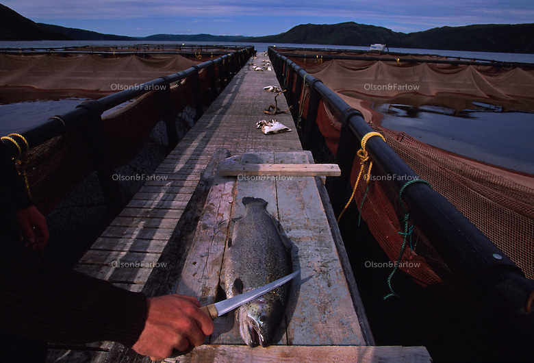"Fish farm in Bay D'Espoir.  These fish are steelhead trout, but were marketed as Salmon.  There were 8 communities on Long Island Newfoundland and now there is only one left--Gaultois nwfld is a town you can only reach by boat--no cars. It used to be a thriving community of fishermen.  Now I'm in a boat with two of the surviving 8 fishermen in the last town on this island trying to eke a living out of lobstering.  Gaultois is bordered by Bay D'espoir (Bay of Hope) named for it's abundant fishing.  The locals now call this ""Bay Despair."""