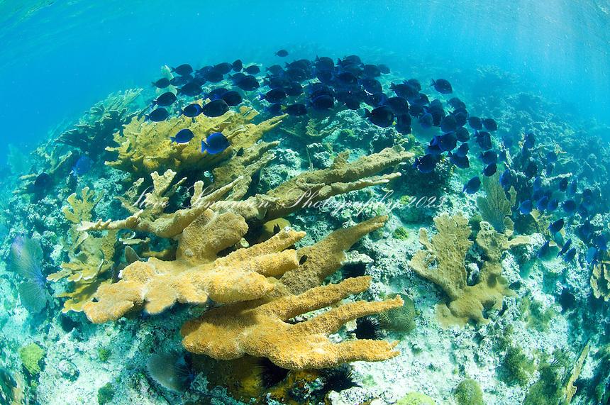 Blue Tangs and Elkhorn Coral<br /> Hawksnest Bay<br /> Virgin Islands National Park<br /> St. John, U.S. Virgin Islands