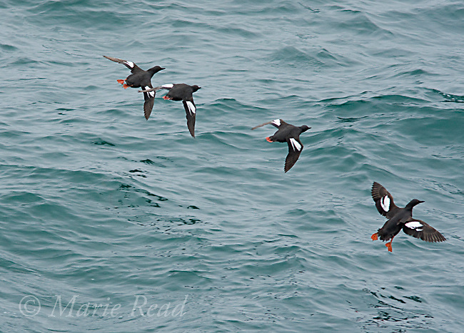 Pigeon Guillemot (Cepphus columba), group in flight over water, Montana De Oro State Park, California, USA