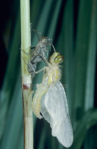 Black Darter, Sympetrum  danae, adult emerging from larval case , Rothenturm, Switzerland, September 1995