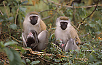 black-faced vervet monkies, Nakuru National Park