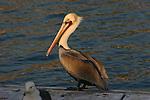 brown pelican and gull at Oceanside harbor