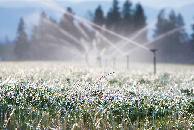 Irrigation left on over night freezes on the grass