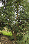 Israel, Jerusalem Mountains, Carob tree in Ein Kfira
