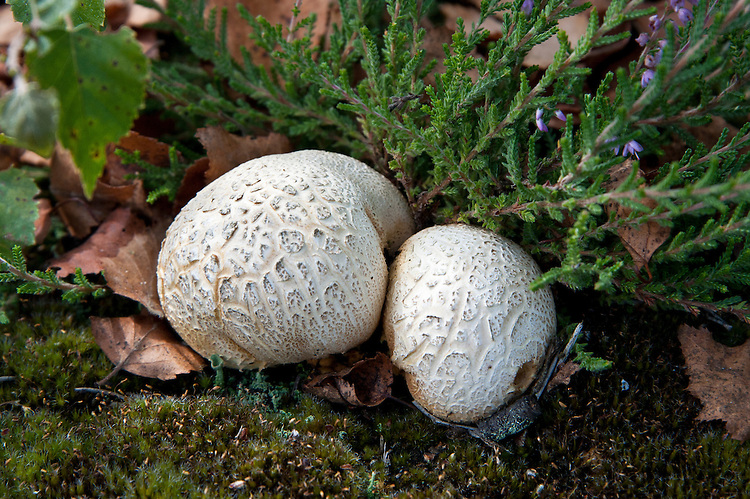 Common earthball (Scleroderma citrinum), heathland, Surrey, late August.