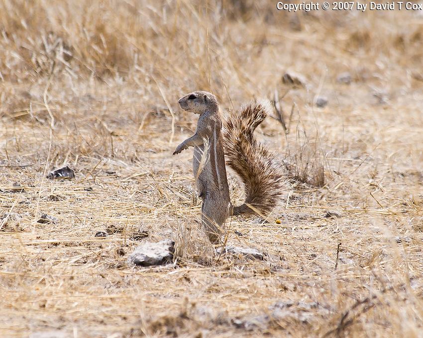 Ground Squirrel, Etosha NP, Namibia