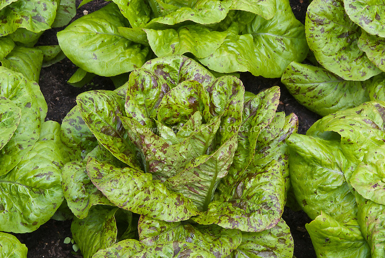 Lettuce 'Freckles' salad greens with red spots growing vegetable