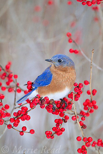 Eastern Bluebird (Sialia sialis) male perched in winterberry (Ilex sp.) in winter, New York, USA
