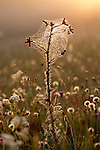 Marsh thistle, Cirsium palustre with spiders web in Hay Meadow - Clattinger farm, Wiltshire. This habitat has been reduced in the UK through intensified farming by 98% since the second world war and is highly endangered.