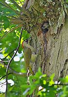 Grünspecht, Männchen an der Bruthöhle in Baumstamm mit bettelndem Küken, Grün-Specht, Specht, Kopfweide, Spechthöhle, Picus viridis, green woodpecker