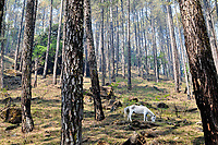 A pack horse grazes among pines in the Himalayan foothills.