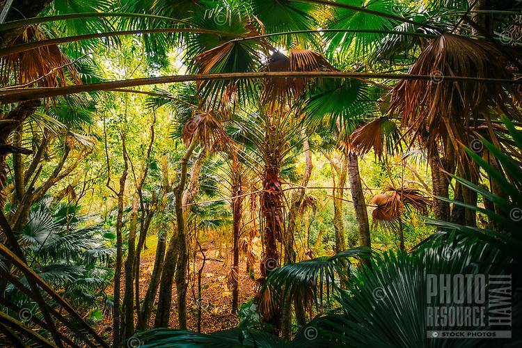 Loulu palms seen during a hike through Pololu Valley, Big Island of Hawaiʻi.