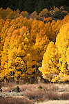 Aspen in autumn color, Hope Valley, Alpine Co., Calif.