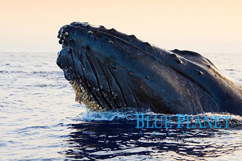 Humpback Whale in competitive group, displaying head lunge, Megaptera novaeangliae, note colonies of Acorn Barnacles, Cornula regina and/or Cornula diaderma, attached under chin growing Long-necked Goose Barnacles or Rabbit-eared Barnacles, Conchorderma auritum, on top of them, Hawaii, Pacific Ocean