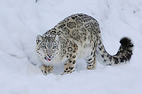 Snow Leopard (Uncia uncia), adult in snow, captive, Switzerland