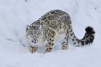 Snow Leopard (Uncia uncia), adult in snow, captive, Switzerland