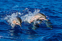 a pair of Hawaiian spinner dolphins, long-snouted spinner dolphins or Gray's spinner dolphins, Stenella longirostris longirostris, jumping out of boat wake, Kealakekua Bay, Kona Coast, Big Island, Hawaii, USA, Pacific Ocean