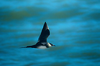 551060001 a wild parasitic jaeger stercorarius parisiticus flies over the open ocean in southwest alaska