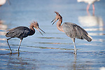 Ding Darling National Wildlife Refuge, Sanibel Island, Florida; two Reddish egret (Egretta rufescens) birds squabble over fishing territory, while standing in the shallow water © Matthew Meier Photography, matthewmeierphoto.com All Rights Reserved