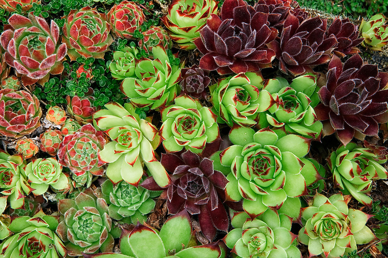 Species of Sempervivum. Northwest Garden Nursery, Eugene, Oregon