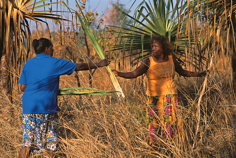 Patricia Woolla and Mavis Ngallametta collecting pandanus leaf for basketmaking, Aurukun, Cape York Peninsula.