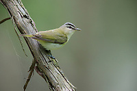 Red-eyed Vireo (Vireo olivaceus olivaceus) on it's breeding territory in Sterling Forest State Park, Tuxedo Park, New York.