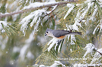01298-03701 Tufted Titmouse (Baeolophus bicolor) in pine tree in winter snow Marion Co. IL