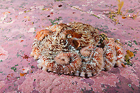 TA0769-D. Giant Pacific Octopus (Enteroctopus dofleini), very small juvenile on rock covered with coralline algae. British Columbia, Canada, Pacific Ocean.<br /> Photo Copyright &copy; Brandon Cole. All rights reserved worldwide.  www.brandoncole.com