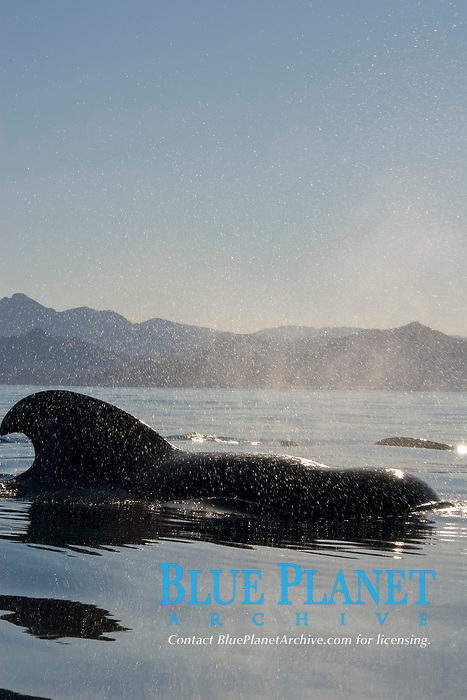 Short finned pilot whale (globicephala macrocephalus). A pilot whale in the afternoon calm. Gulf of California., Baja California, Mexico, Pacific Ocean