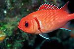 Blackbar Soldierfish, Myripristis jacobus, Curacao