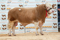 English Premier Show & Sale March 2019 <br /> Newark Livestock Market. <br /> Lot 11 Reserve Champion Burghbridge Isaiah owned by CJG Clarke & Partners sold for 2800gns<br /> ©Tim Scrivener Photographer 07850 303986<br />      ....Covering Agriculture In The UK....