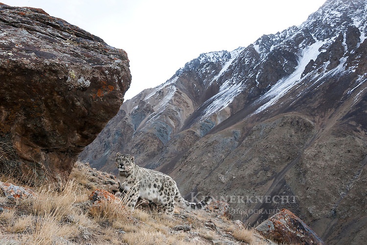 Snow Leopard (Panthera uncia) female with collar in mountains next to scent-marking rock, Sarychat-Ertash Strict Nature Reserve, Tien Shan Mountains, eastern Kyrgyzstan