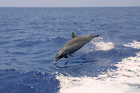 pantropical spotted dolphin, Stenella attenuata, leaping, Kona, Big Island, Hawaii, Pacific Ocean ( do )