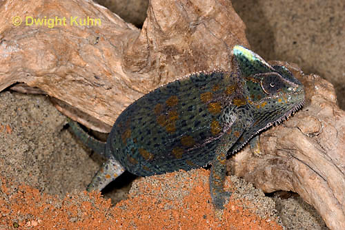 CH48-503z  Veiled Chameleon female digging in sand to lay eggs, Chamaeleo calyptratus