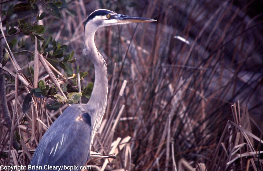 Blue Heron, Merrit island, FL.  (Photo by Brian Cleary/www.bcpix.com)