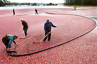 After flooding a bog, Cape Cod cranberry grower, Ray Thacher and his crew rake berries towards the mouth of the pump.